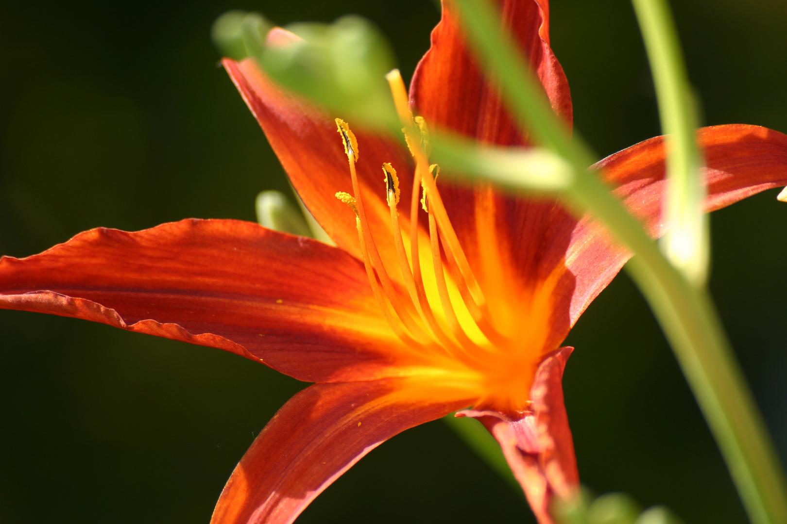 Lilie seitlich