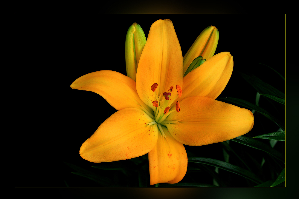 -Lilie zum Feierabend-