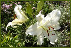 Lilien - die haben die Lilienkäfer überlebt