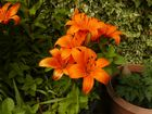 Lilien in meinem Garten