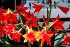 Lilien in Sirince Türkei
