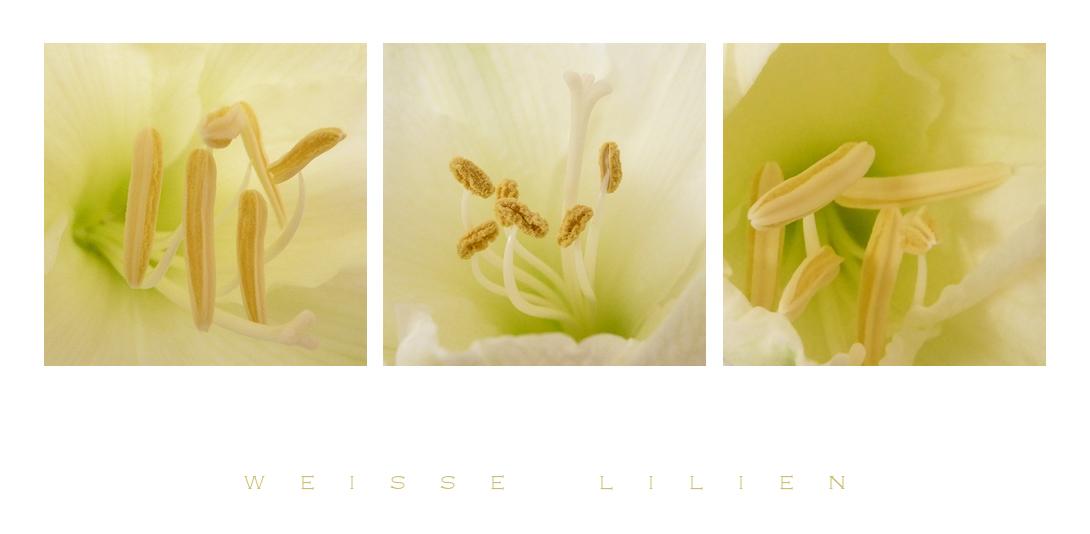 . lilien in weiß .