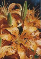 Lilien nach einem Sommerregen
