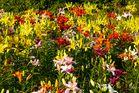 Lilien - so weit man sehen kann