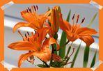 Lilien zum Sonntag.....