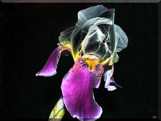 Lilienblüte mal anders