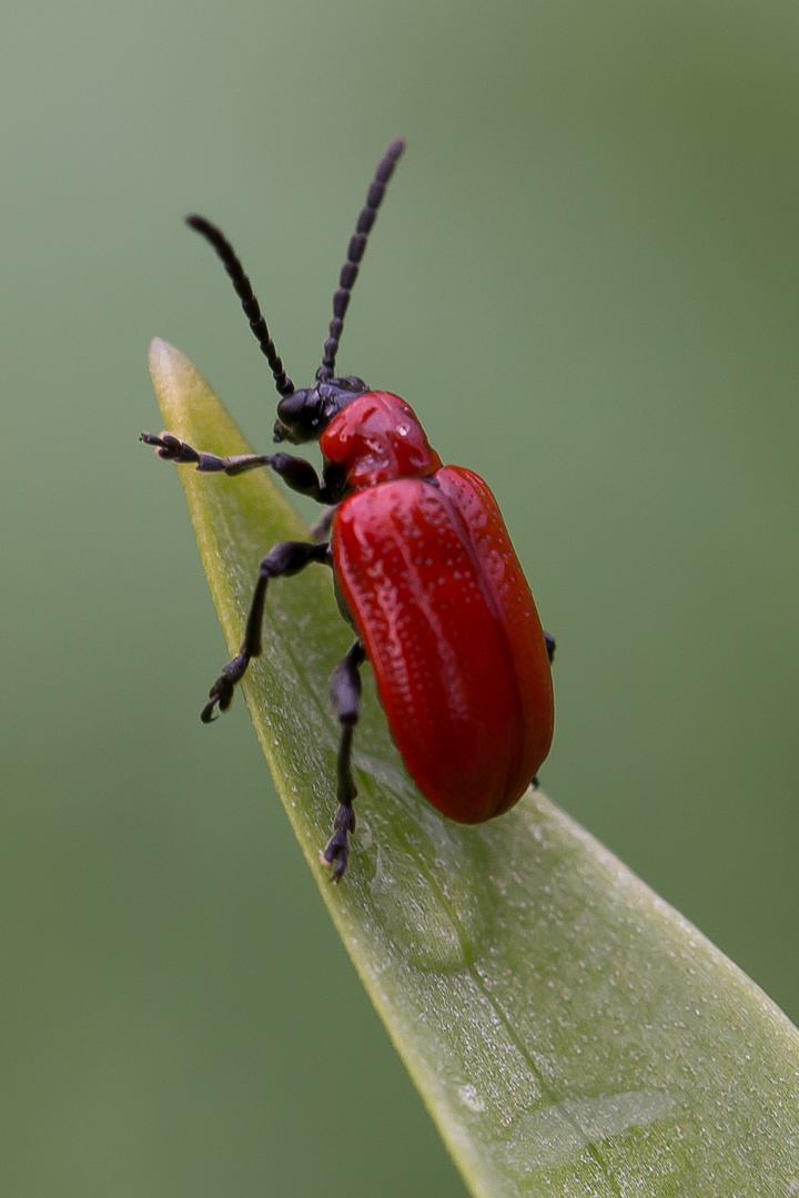 Lilienhähnchen (Lilioceris lilii)