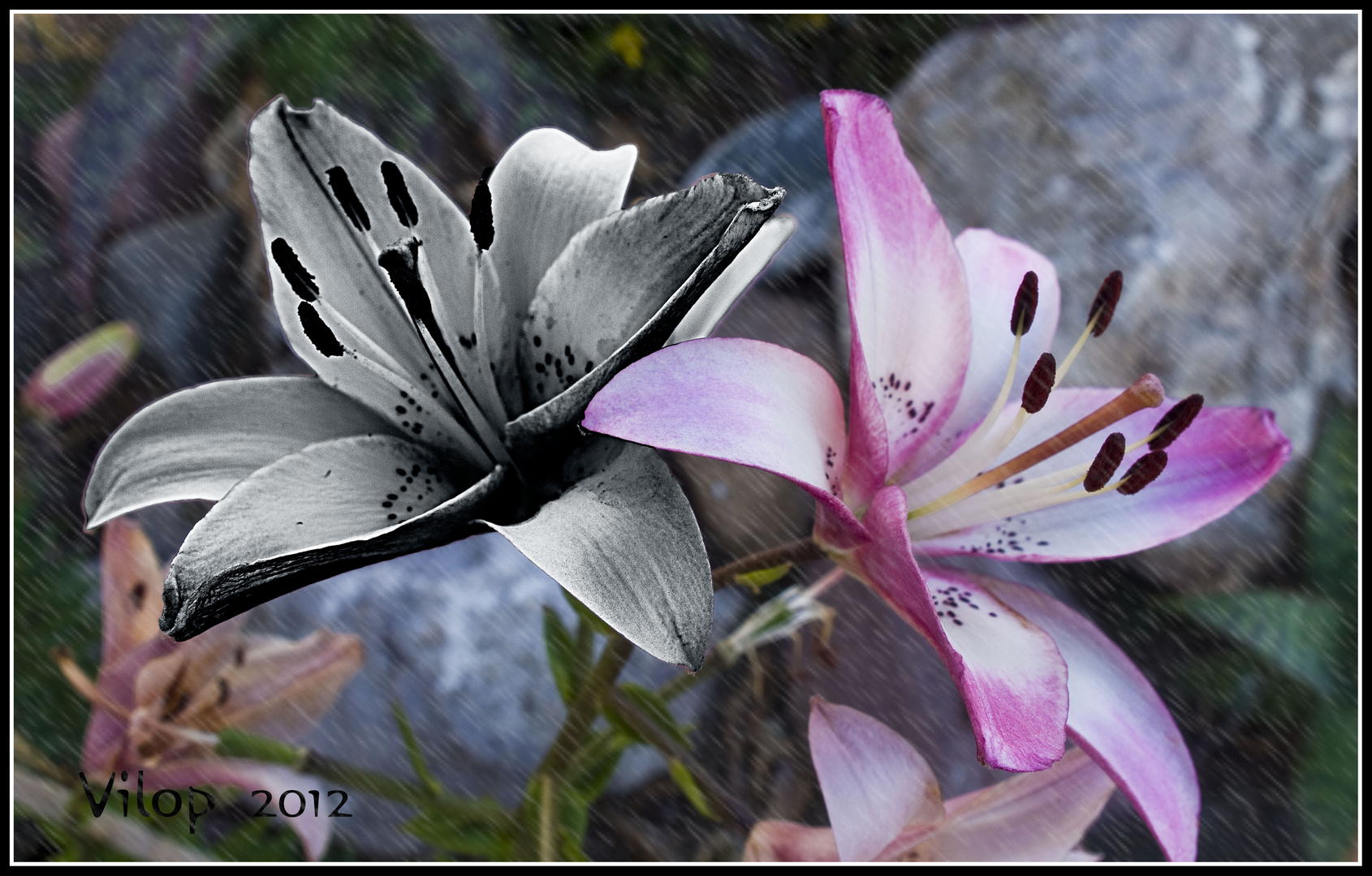 LILIUM-COLOR+ B-N