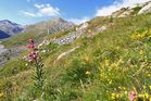Lilium Martagon am 27.07. in 2300 m am Walliser Mattmark , dem größten...
