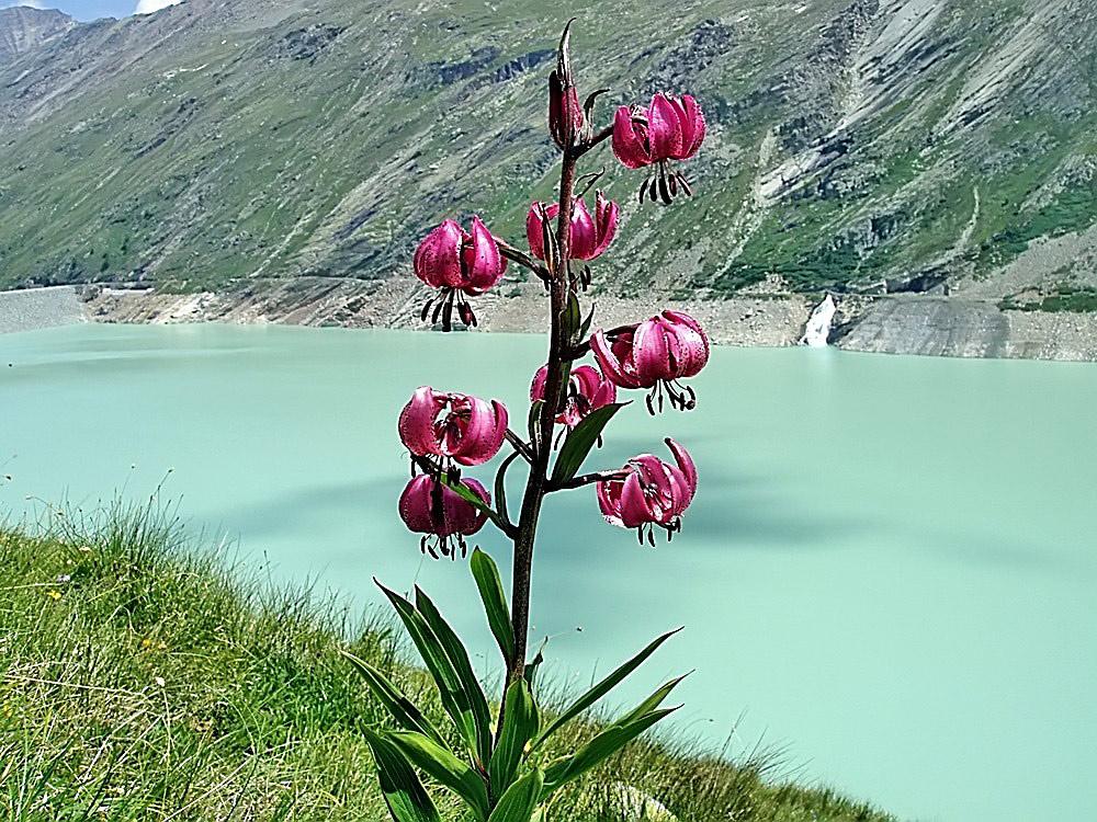 Lilium martagon - Türkenbund