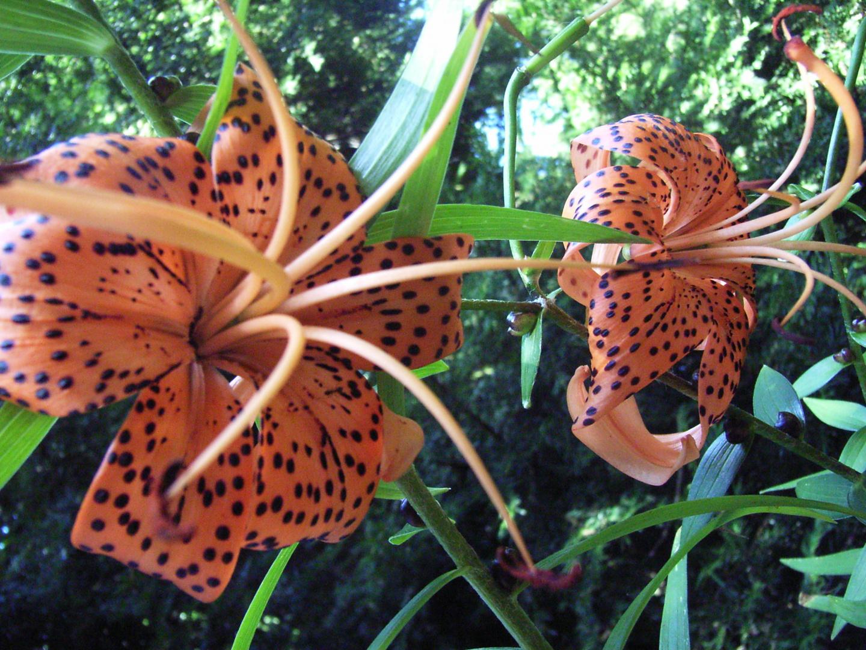 Lilium tigrinum ( Tigerlilie )