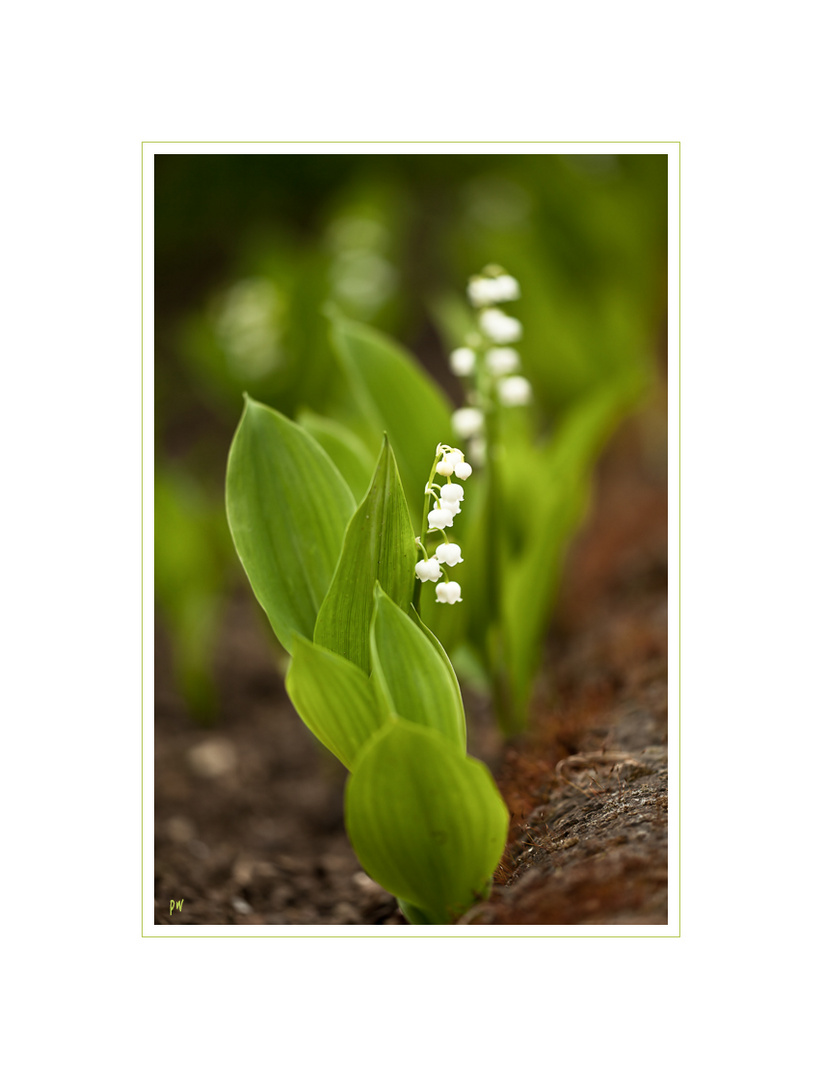Lily of the Valley II...