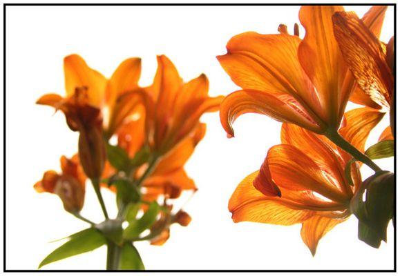 Lily' Orange