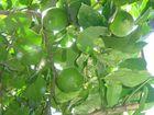 Limettenzauber vom Baum