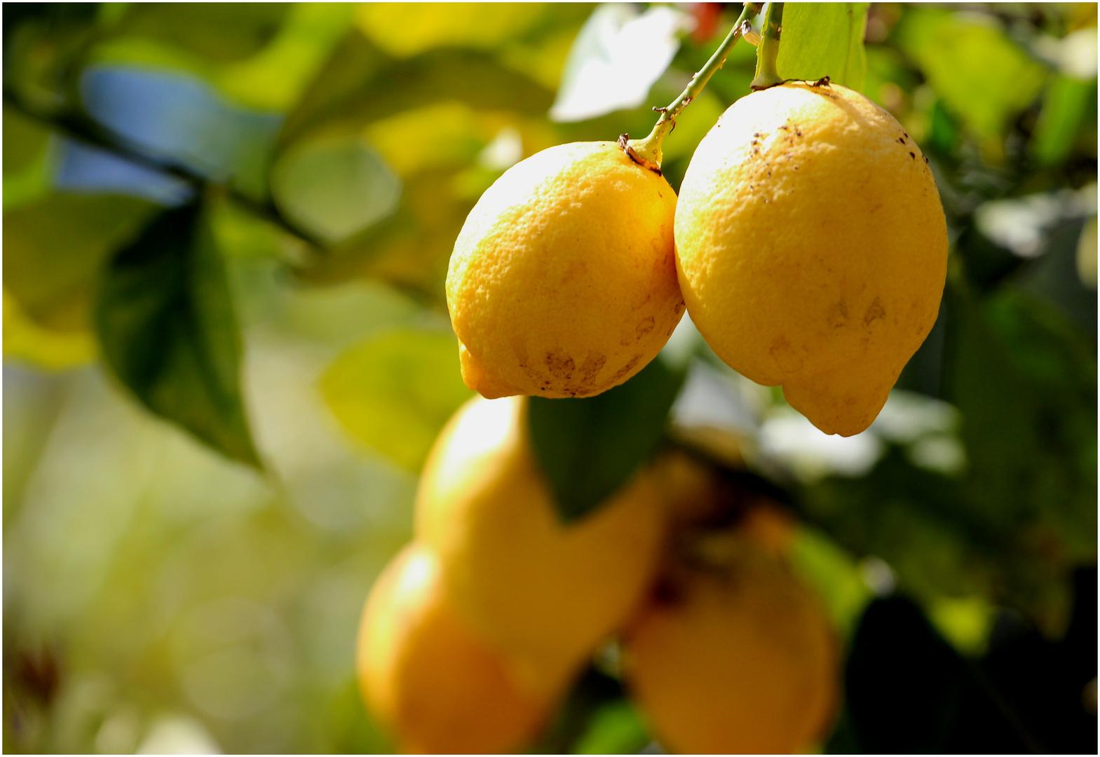 Limonaia