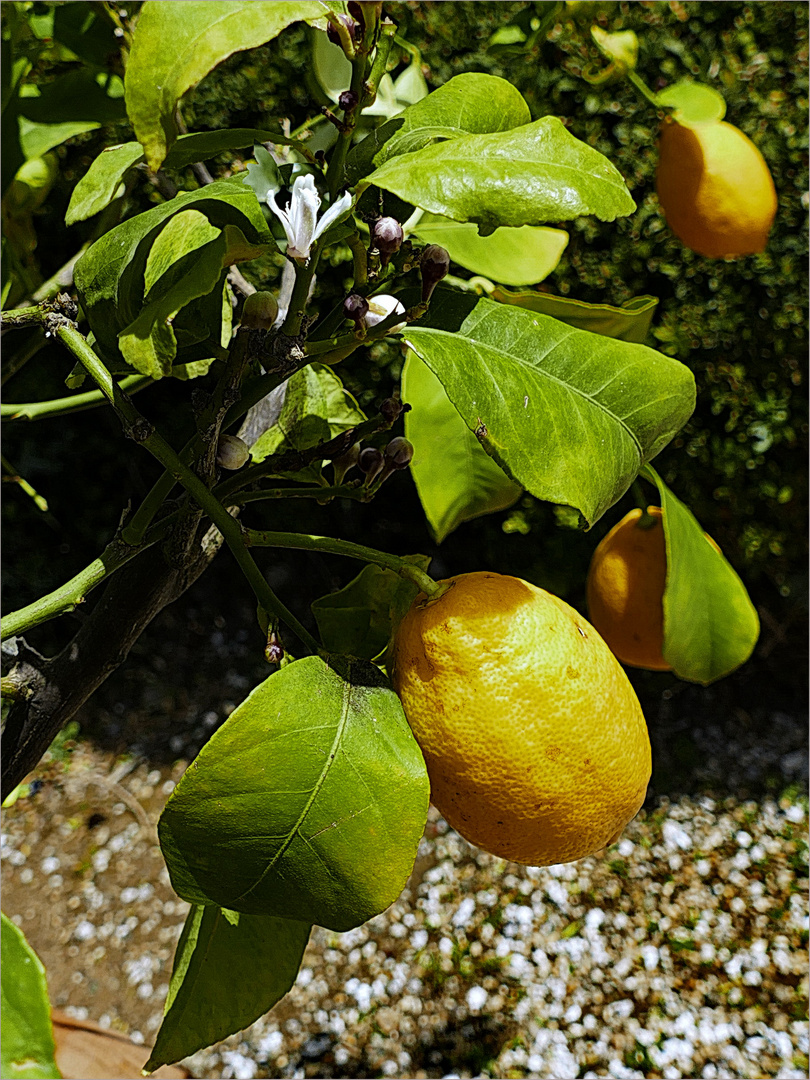 Limones  - Zitronen