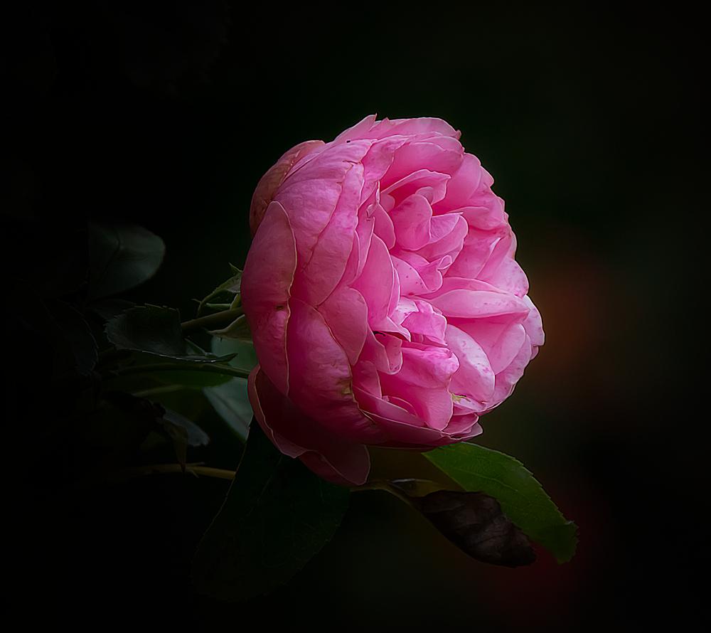 L´important cést la rose.