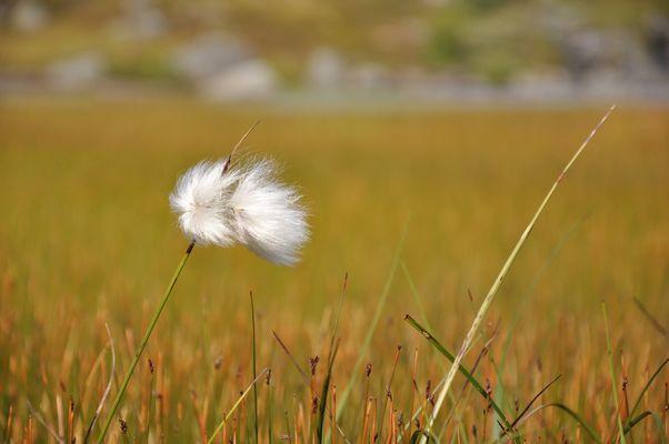 Linaigrette dans le vent des Lofotens