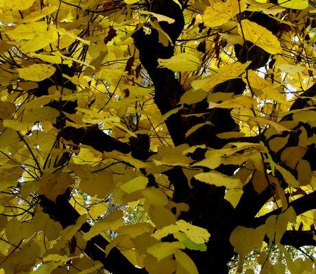 """Linde im Herbst"""