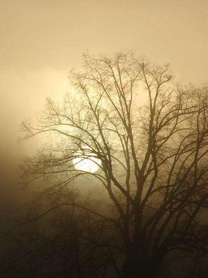 Linde im Morgennebel