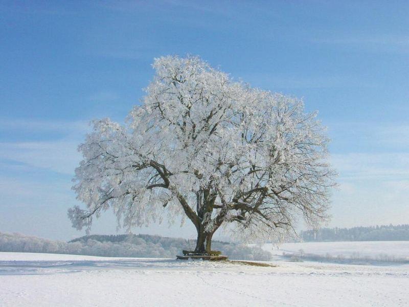 linde im winter foto bild pflanzen pilze flechten b ume einzelb ume bilder auf. Black Bedroom Furniture Sets. Home Design Ideas