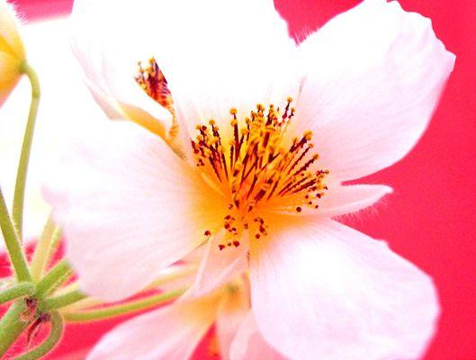 ~ lindenblüte ~