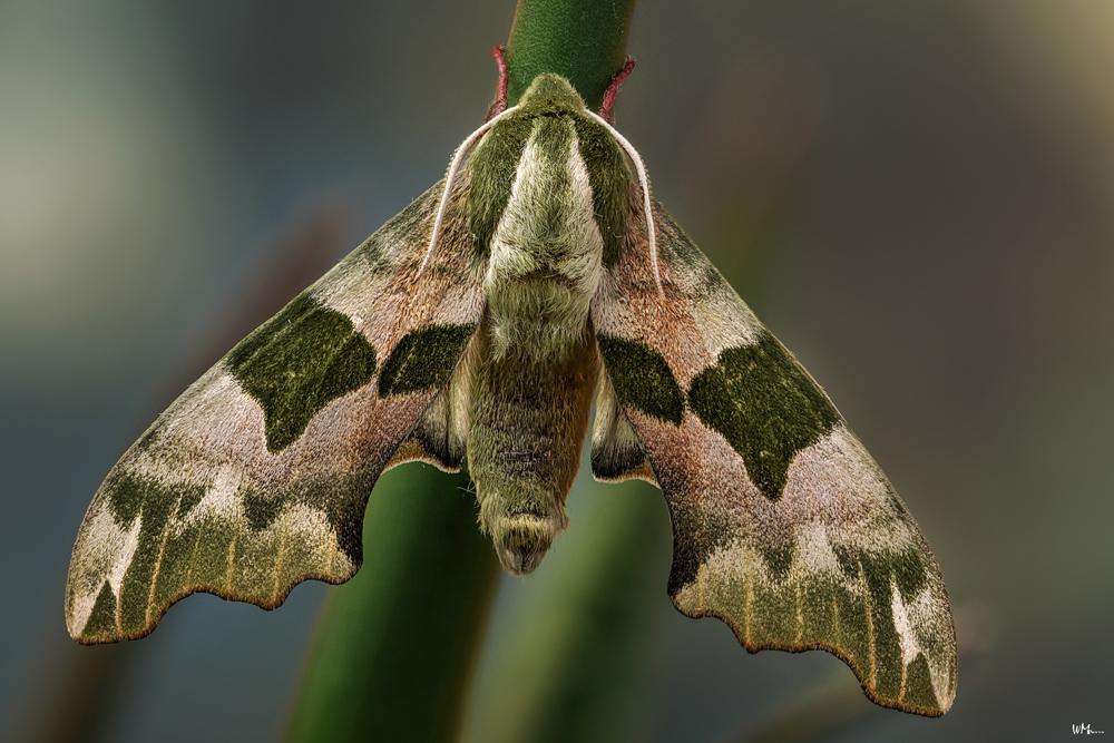 Lindenschwärmer - Flieger der Nacht