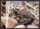 Linsenkröte