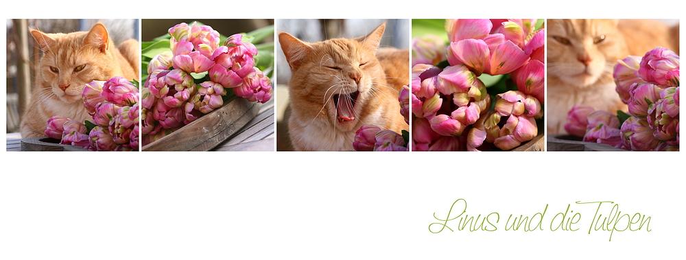 Linus und die Tulpen