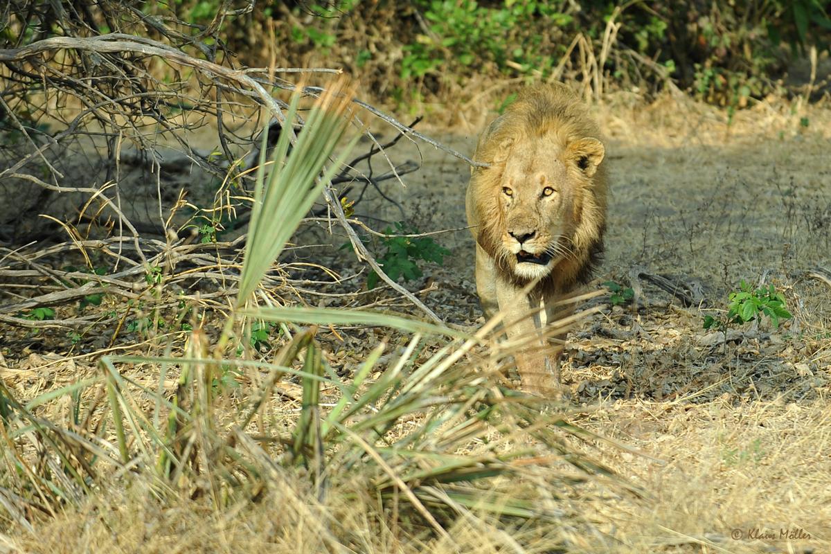 >Lion