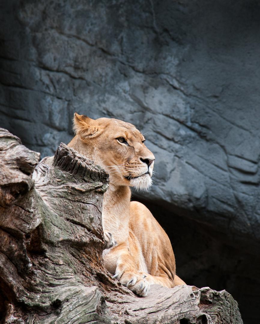 Lion !!