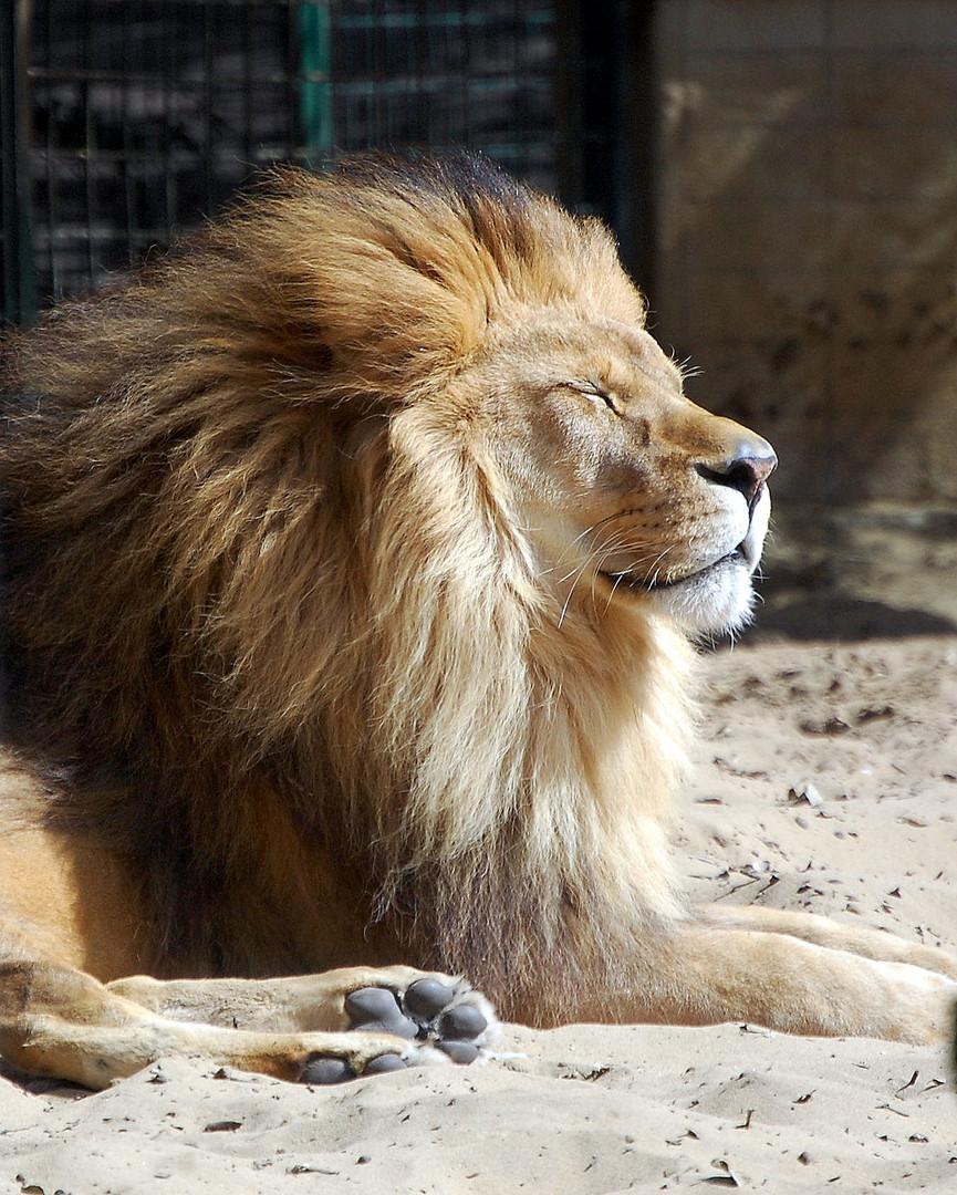 Lion apaisé