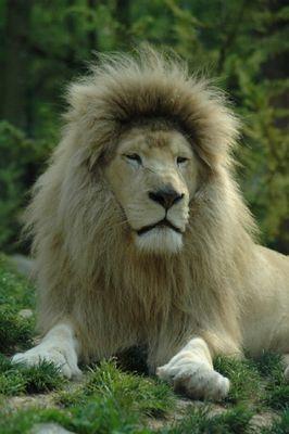 Lion blanc au zoo de beauval