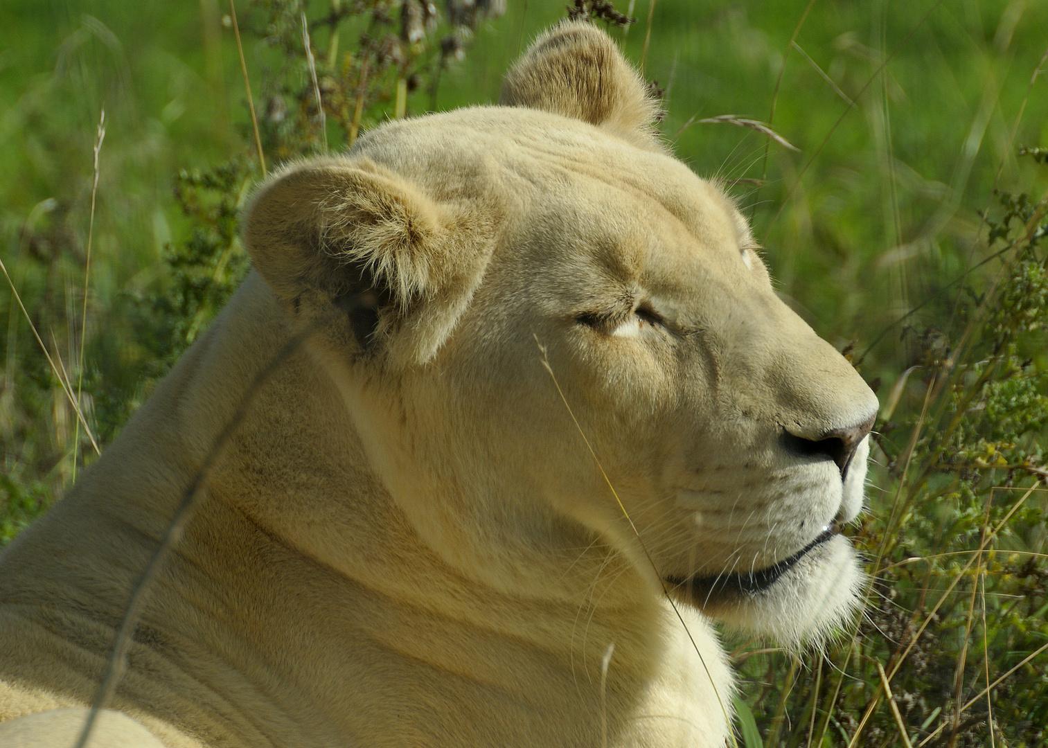 lion blanc de krûger, femelle