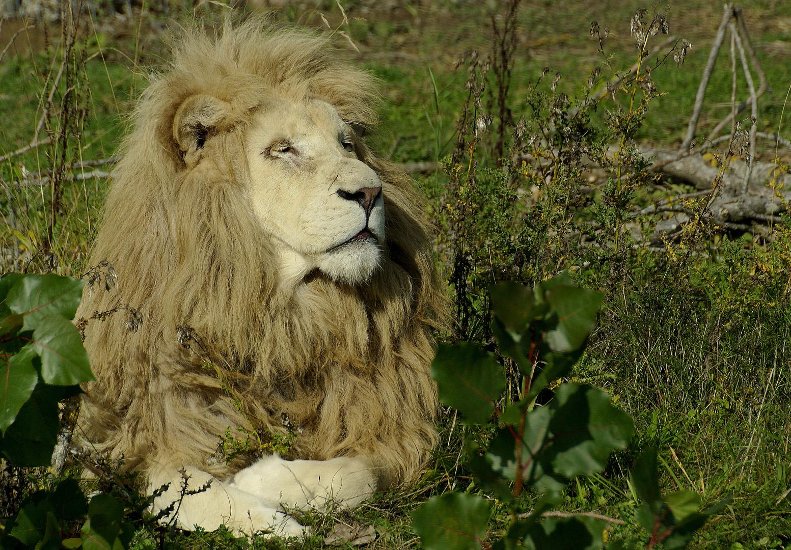 lion blanc de krüger, mâle