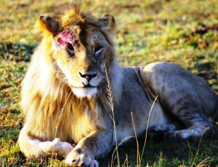 Lion blessé, Masaï Mara, Kenya