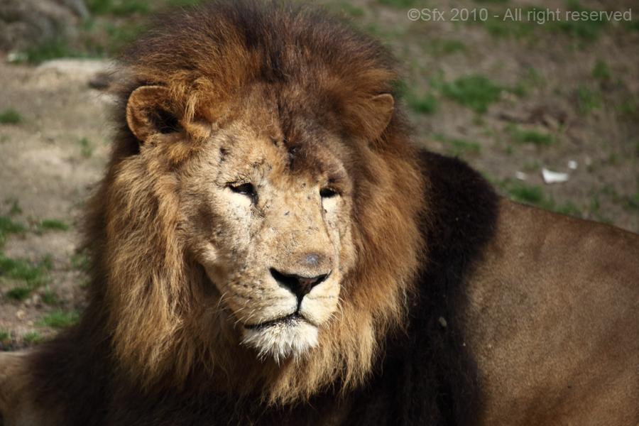 ...Lion...