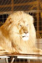 lion de Martin lacey junior au 34e festival de monte carlo a gagner le clown d or