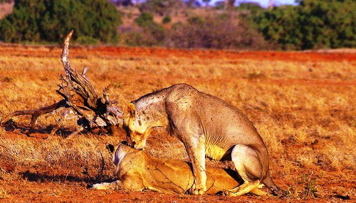 Lion du Tsavo Est, Kenya
