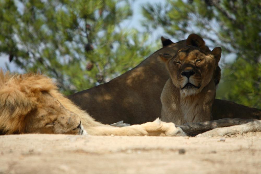 lion et lionnes au repos