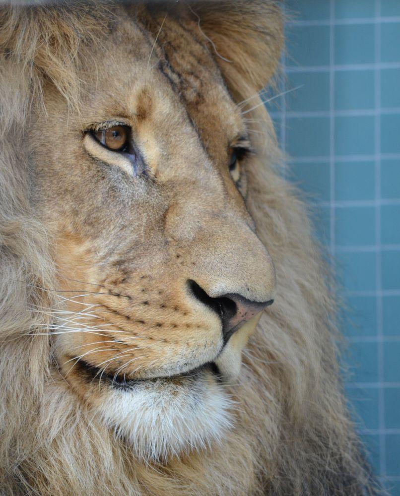 Lion Eyes von Johannes S..