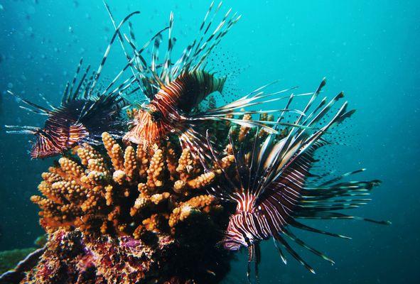 Lion Fish, Ila Rodrigues