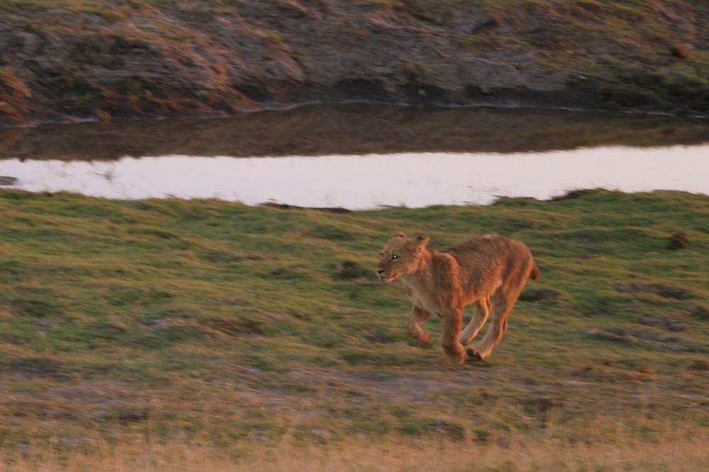 Lion in Chobe 1