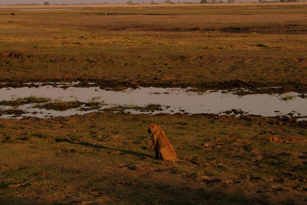 Lion in Chobe 2