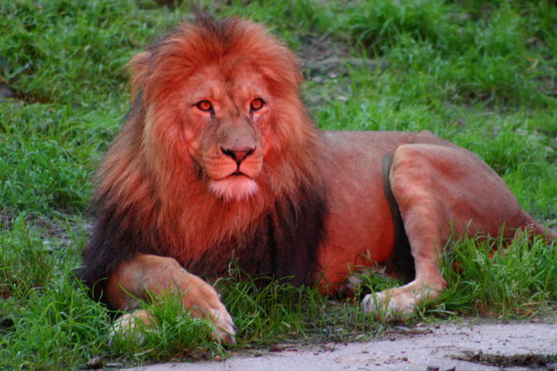 lion in red
