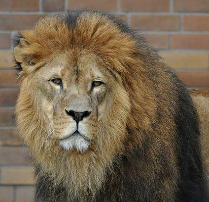 LION KING !