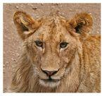 Lion King Junior (F11)
