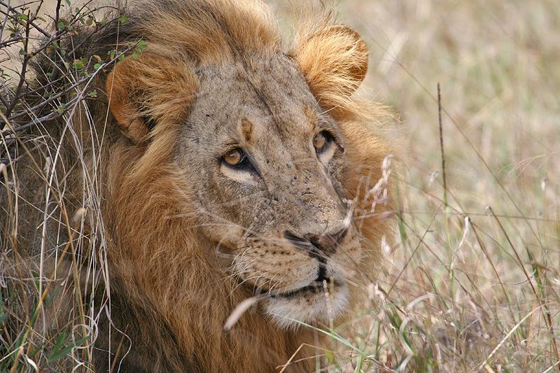 Lion King Senior