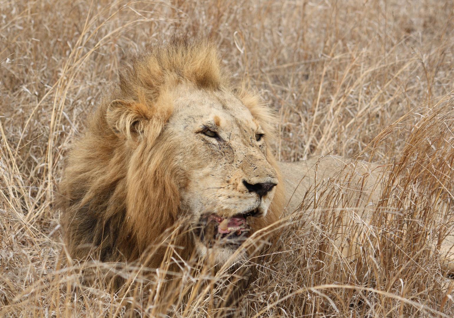 Lion (Satara)