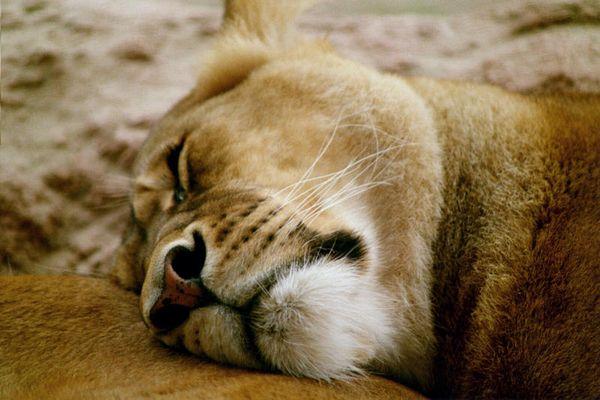 Lion sleep tonight_1